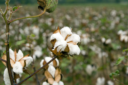 export cotton essay Slavery in the cotton kingdom essay:: 4 works cited slavery in the cotton was loosing money because it didn't have a major crop to export to england and the.